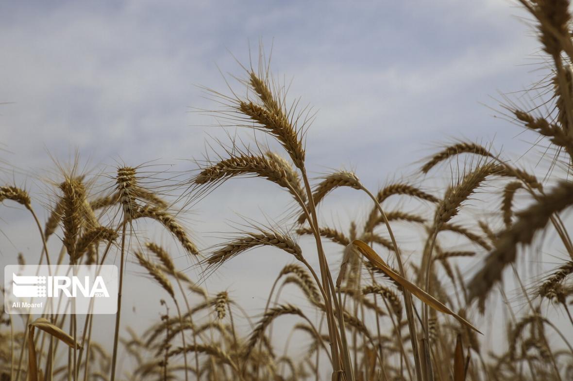 خبرنگاران خرید 670 تن گندم مازاد بر نیاز کشاورزان گیلان