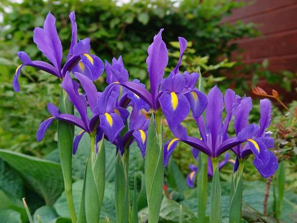 نگهداری از گل زنبق